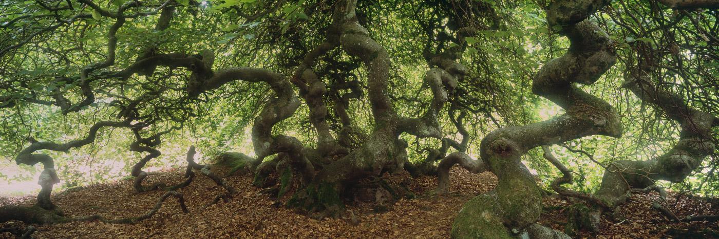 Famille de hêtres dit tortillards de la forêt de Verzy, Montagne de Reims