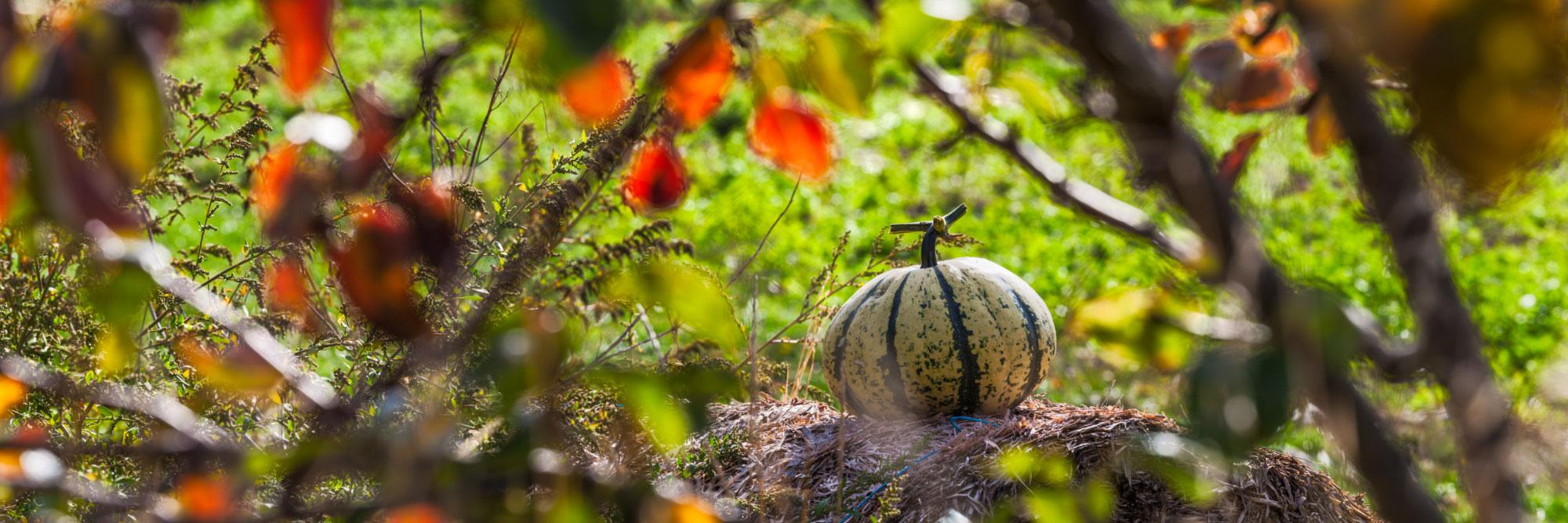 Citrouille sur une botte de paille, automne, Vercors