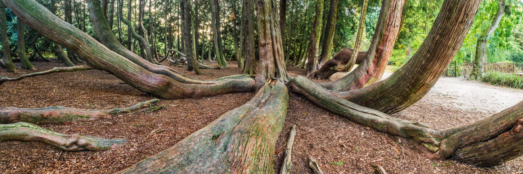 Le thuya géant du jardin de Vitré