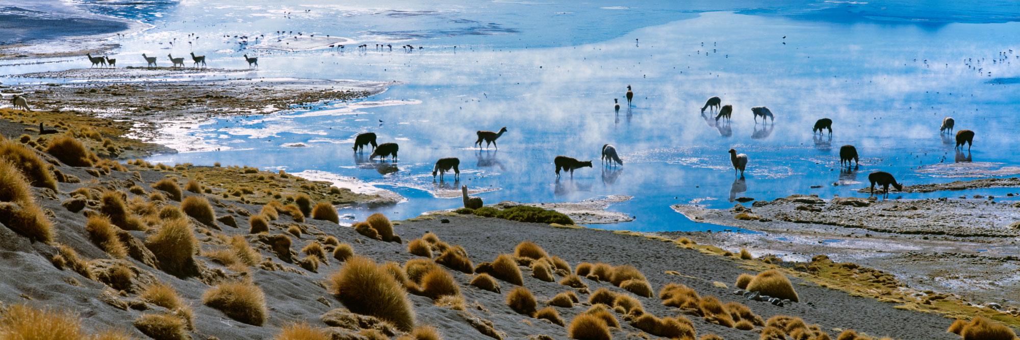 Lamas, Laguna Colorada
