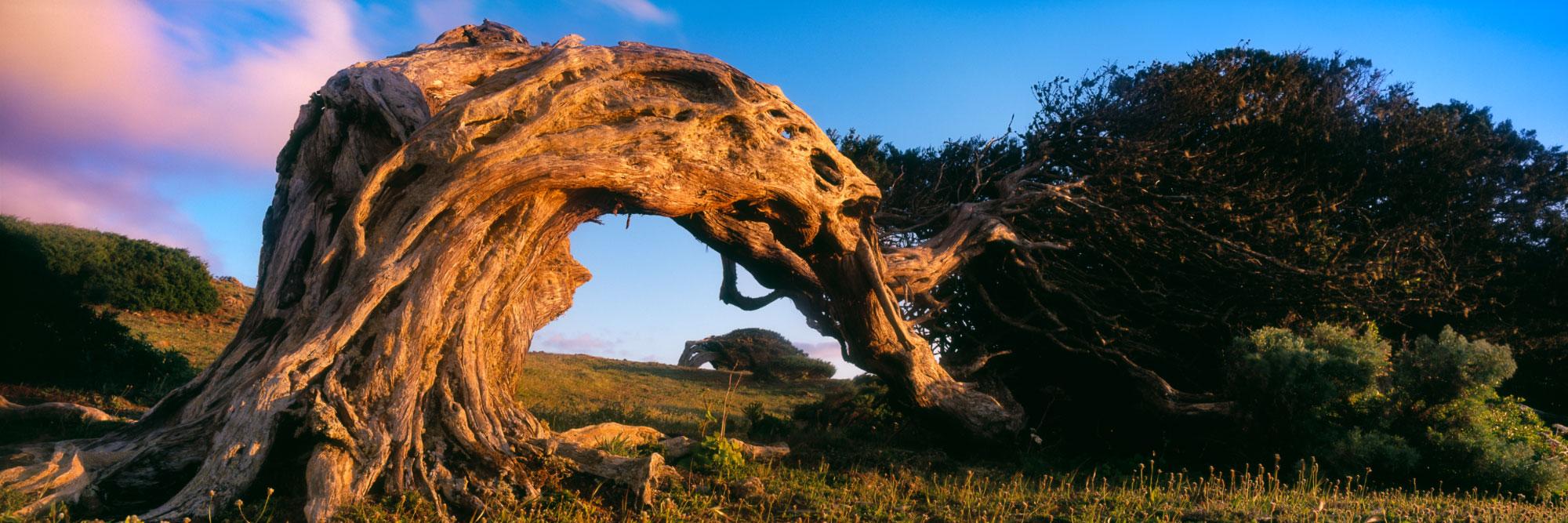 Sabines, arbres endémiques